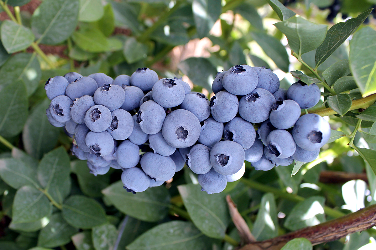 New blueberry varieties well received